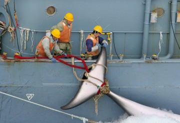 Japanese whaling ship catches a whale in the Southern Ocean.
