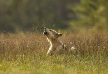 Howling wolf pup