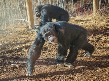 Eddie the chimp in the Peachtree Habitat at Project Chimps.