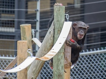 Emma the chimp climbing a pole at Project Chimps