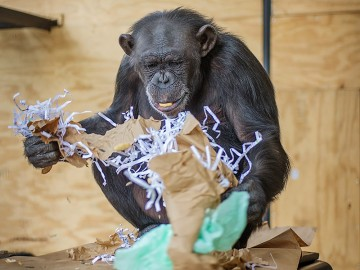 Genesis the chimp forages through paper to find the hidden nuts.