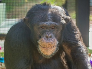 Portrait of Jabari the chimp at Project Chimps