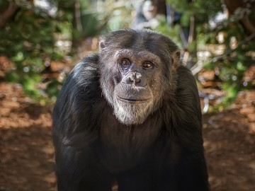 Portrait of Patrick the chimp at Project Chimps