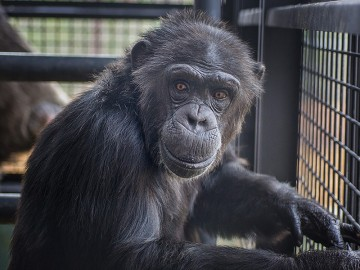 Portrait of Sky the chimp at Project Chimps
