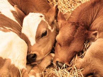 Two cows cuddling together