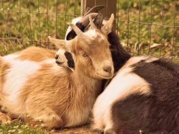 Goats laying down cuddling together