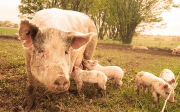 Mama pig feeding her baby piglets in the grass on a farm