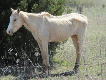 Neglected horse before being rescued