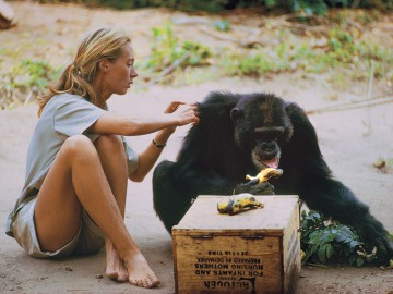 Jane Goodall grooming a chimp