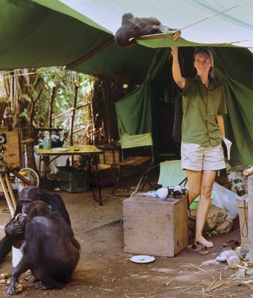 A chimp looking at Jane Goodall as she stands in her tent
