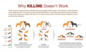 Coyote killing data infographic, Why killing doesn't work