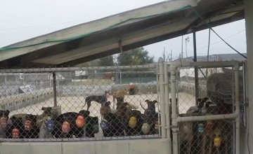 Greyhounds in a turnout pen