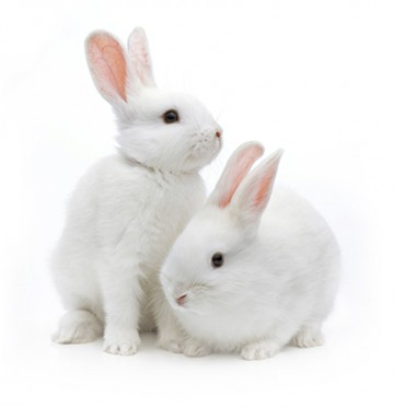 Two white bunnies