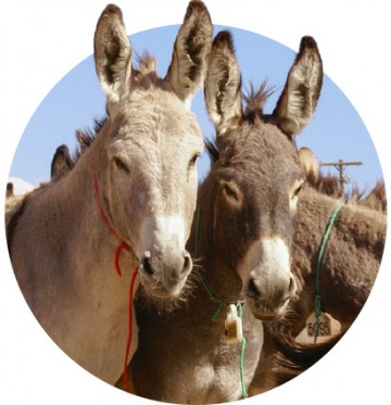 Two cute burros