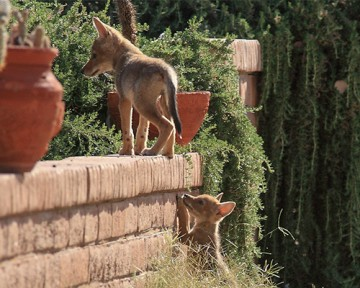 Coyote pups exploring in a residential backyard