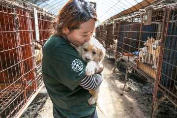 HSI rescuer kissing a dog rescued at a dog meat farm in South Korea