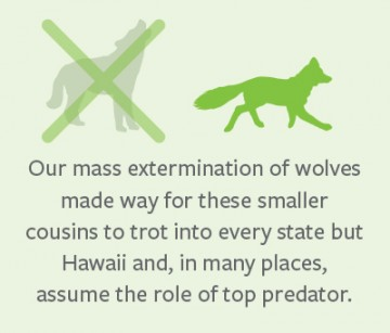 Mass wolf extermination caused other predator problems