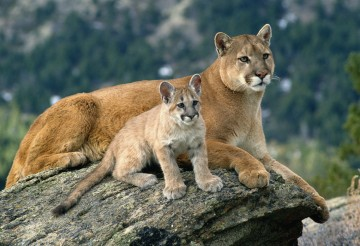 A mother mountain lion and cub rest in Western Montana.