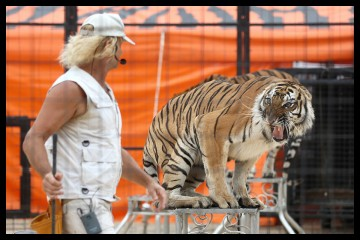 A tiger scared as a trainer approaches