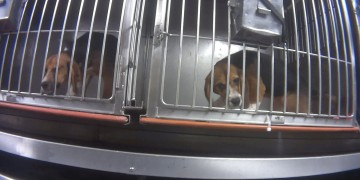 Beagles in their cages during Dow investigation
