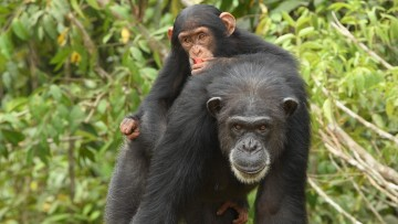 Two chimps in a wooded area, looking at viewer