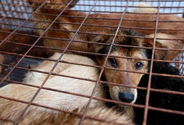 On a truck are caged dogs, waiting to be transferred to a slaughterhouse.
