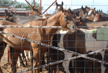 American horses in export pens in Texas and New Mexico before transport to Mexican horsemeat plants