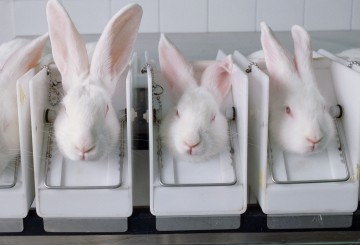 Rabbits in cosmetics animal testing lab