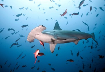 Scalloped hammerhead shark swimming in Cocos Iceland, Costa Rica