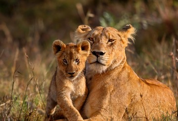 Lioness with her cub in a grassy field