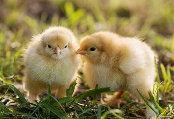 happy cute baby chicks