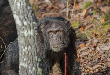 Chimp at Project Chimps