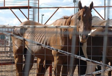 Emaciated horse in pen before being transported to Mexico for slaughter