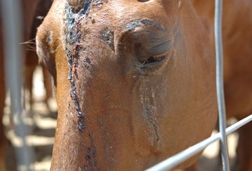 American horse that was most likely injured during transport for slaughter.