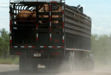 American horses being transported to slaughter in Mexico