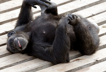 Retired NIH chimp being playful at Chimp Haven