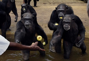 Chimps being fed in Liberia