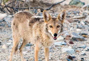coyote in Death Valley National Park
