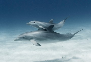 Dolphin and calf swimming in the ocean
