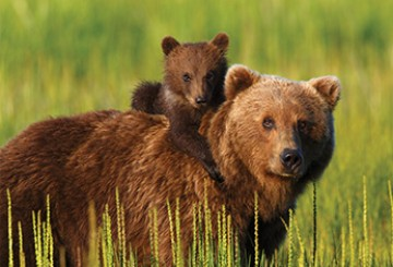 Grizzly bear cub climbing on his mom's back