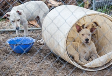 Dogo Argentino dogs in pen before being rescued