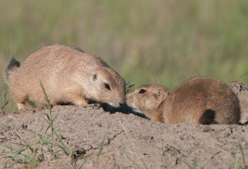 prairie dogs bumping noses
