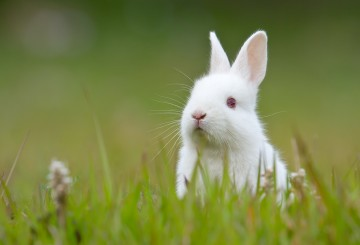 White rabbit sitting in the grass.