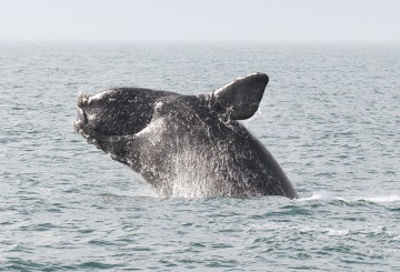 North Atlantic Right Whale breaching the water's surface