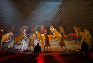 Tigers performing in a Ringling Bros. circus act