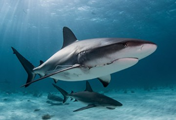 Blacktip reef shark with hook in mouth