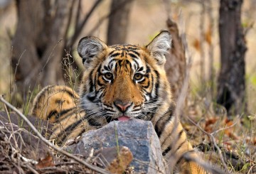 Adult male tiger in Ranthambhore