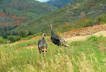 Wild turkeys in the Utah mountains
