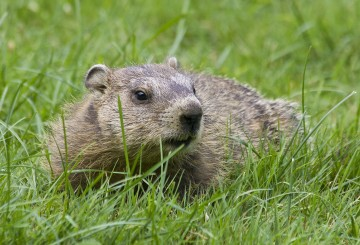 woodchuck in the grass
