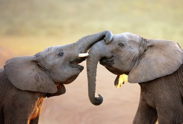 elephants being affectionate with each other